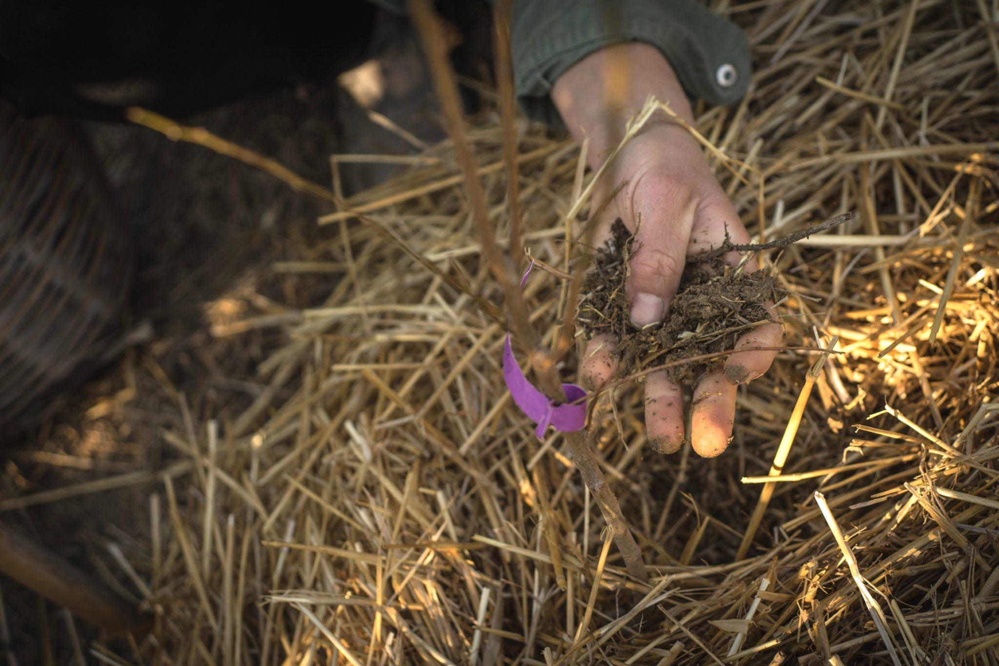 παρτέρι καλλιέργειας με άχυρο
